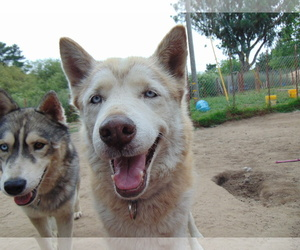 Alusky Dogs for adoption in Pacific grove , CA, USA