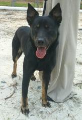 German Shepherd Dog Mix Dog For Adoption in Morrisville, NC