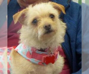 Border Terrier Dogs for adoption in Pleasanton, CA, USA