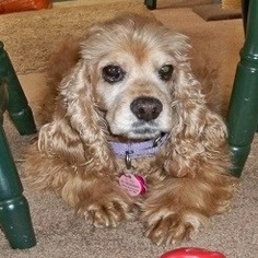 Cocker Spaniel Dog For Adoption in Parker, CO