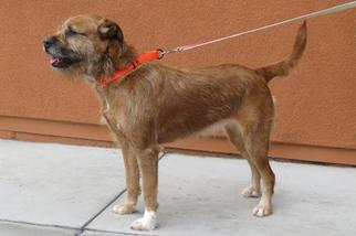 Irish Terrier Mix Dog For Adoption in Santa Monica, CA