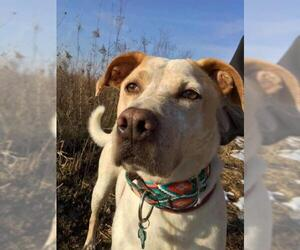 American Staffordshire Terrier-Unknown Mix Dogs for adoption in Cedar Rapids, IA, USA