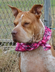 Chinese Shar-Pei Mix Dog For Adoption in Liverpool, TX, USA