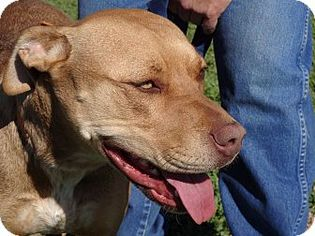 American Pit Bull Terrier-Labrador Retriever Mix Dog For Adoption in Hudson, CO, USA
