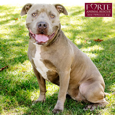 American Staffordshire Terrier Dog For Adoption in Marina del Rey, CA, USA