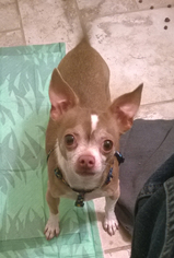 Chihuahua Dog For Adoption in Battle Ground, WA