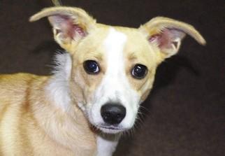 Chiweenie Dog For Adoption in Longview, WA, USA