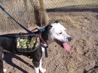 American Pit Bull Terrier-Dalmatian Mix Dog For Adoption in tucson, AZ, USA