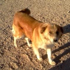 Collie Mix Dog For Adoption in Tonopah, AZ
