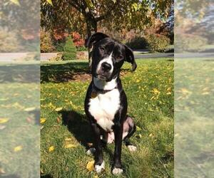 American Pit Bull Terrier-Labrador Retriever Mix Dogs for adoption in Hull, MA, USA