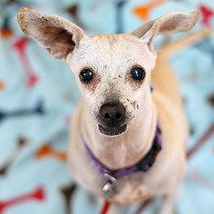 Chihuahua Dog For Adoption in Kanab, UT