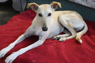 View Ad: Saluki-Whippet Mix Dog for Adoption near California, Agoura