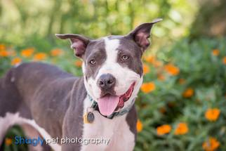 American Pit Bull Terrier Dog For Adoption in Dallas, TX, USA