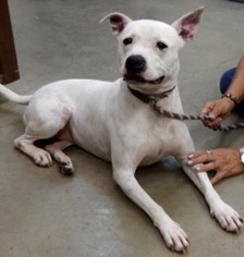 American Pit Bull Terrier Dogs for adoption in Amarillo, TX, USA