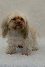 Lhasa Apso Dog For Adoption in Weston, FL, USA