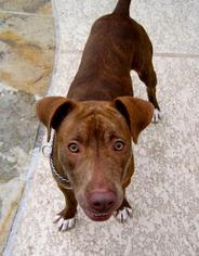 American Pit Bull Terrier-Staffordshire Bull Terrier Mix Dog For Adoption in Houston, TX, USA