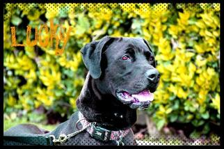 Great Dane Mix Dog For Adoption in Los Angeles, CA, USA