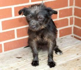 Border Terrier Shih Tzu Mix Dog