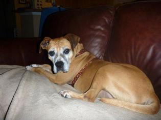 Boxer Mix Dog For Adoption in Elizabeth City, NC, USA
