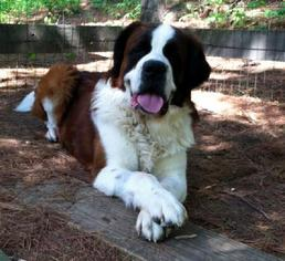 Saint Bernard Dog For Adoption in Monkton, MD, USA