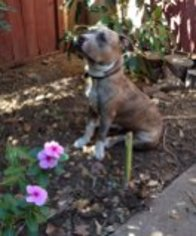American Pit Bull Terrier Mix Dog For Adoption in Rancho Santa Margarita, CA