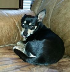 Chihuahua Dog For Adoption in San Antonio, TX, USA