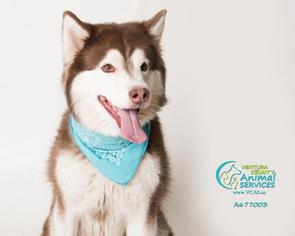Alaskan Malamute Dog For Adoption in Camarillo, CA, USA