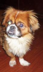 Pekingese Dog For Adoption in Oakdale, TN, USA