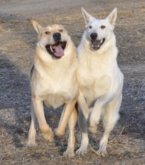Chinese Shar-Pei-German Shepherd Dog Mix Dog For Adoption in Dodson, MT, USA