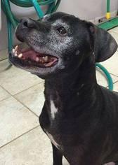 Bullboxer Pit Dog For Adoption in Rockaway, NJ