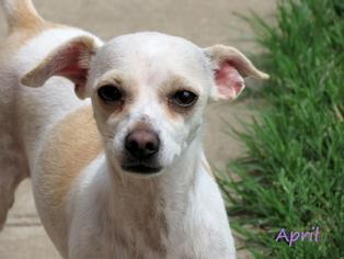 Chihuahua Dog For Adoption in Oklahoma City, OK, USA