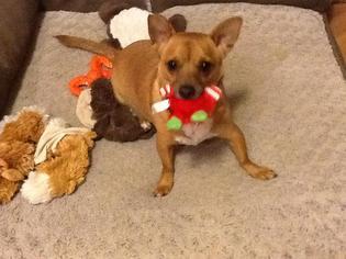 Chihuahua Mix Dog For Adoption in CHANDLER, AZ, USA