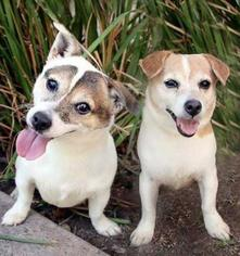 Jack Russell Terrier Mix Dog For Adoption in Moorpark, CA, USA