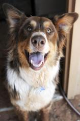 Australian Shepherd Dog For Adoption in Kanab, UT, USA