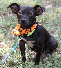 Chihuahua Mix Dog For Adoption in Helotes, TX