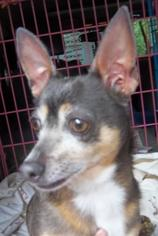 Chihuahua Dog For Adoption in Anderson, SC, USA