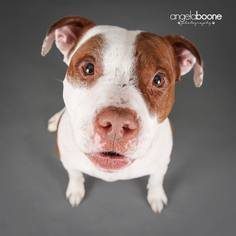 American Pit Bull Terrier Mix Dog For Adoption in Blaine, MN, USA
