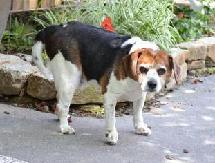 Beagle Mix Dog For Adoption in Asheville, NC, USA