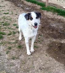 Great Pyrenees Mix Dog For Adoption in Clifton, TX