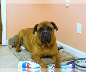 Mastiff Dogs for adoption in York, SC, USA