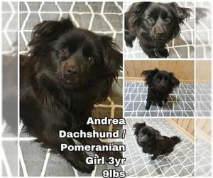 Dameranian Dogs for adoption in Seattle, WA, USA