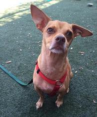 Chiweenie Dog For Adoption in Austin, TX