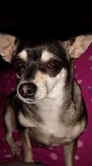 Chihuahua Dog For Adoption in Wilmington, DE
