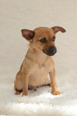 Chihuahua Dog For Adoption in Weston, FL