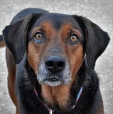 Labrador Retriever Mix Dog For Adoption in Kansas City, MO, USA