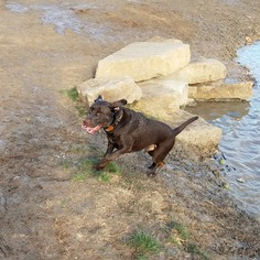 Labrador Retriever Dog For Adoption in Denton, TX, USA