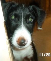 Border Collie Mix Dog For Adoption in San Antonio, TX, USA