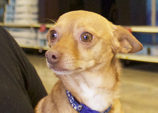 Chiweenie Dog For Adoption in Frisco, TX
