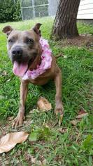 American Pit Bull Terrier Mix Dog For Adoption in Winston Salem, NC, USA