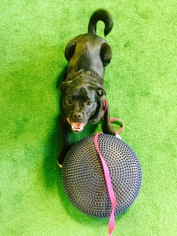 Pug Mix Dog For Adoption in Eden Prairie, MN, USA
